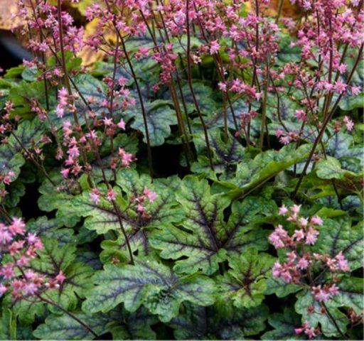 Сорт образует цветки нежно-пурпурной или красной окраски
