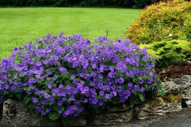 Цветки яркие, сине-фиолетовые