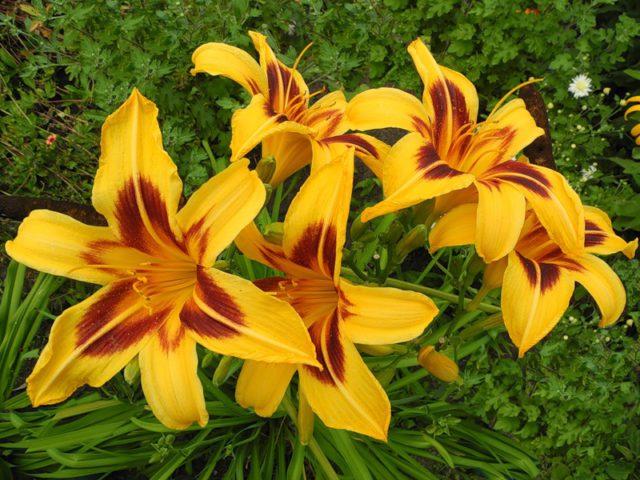 Цветки воронковидные, светлые, оранжево-желтые