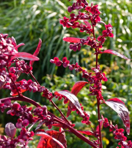 A. hortensis var. rubra (Л. садовая)
