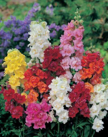 Цветки махровые