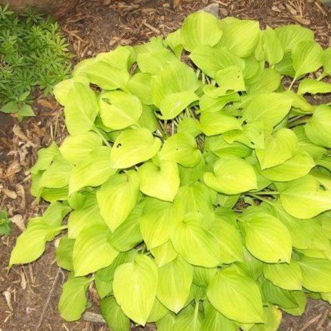 Листья ярко-желтого цвета
