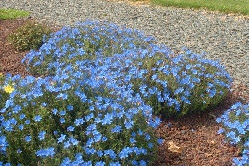Ярко-голубые цветки