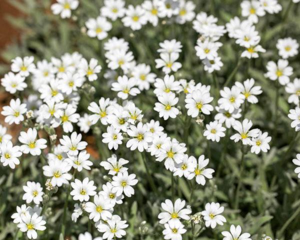Соцветия простые, белые