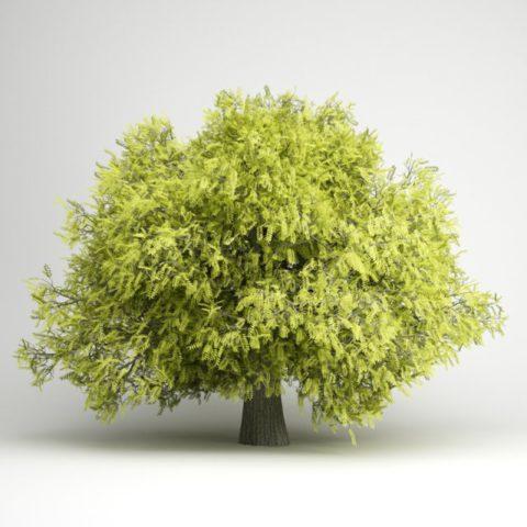 Быстро растущее прямостоячее дерево