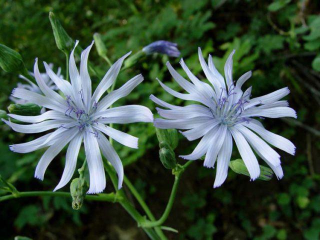 Цветки светло-синие