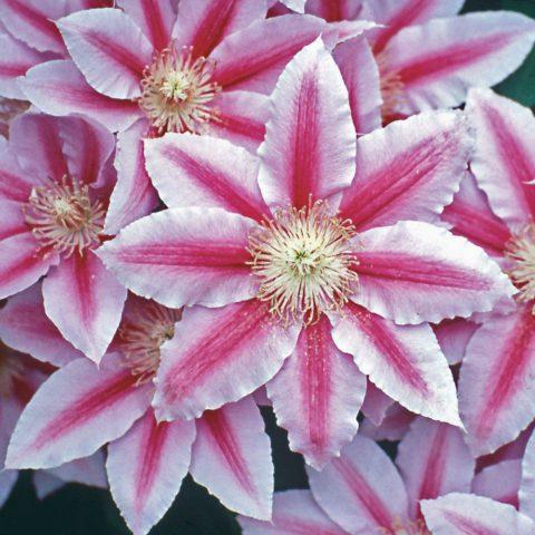 Цветки светло-пурпурные или розовые