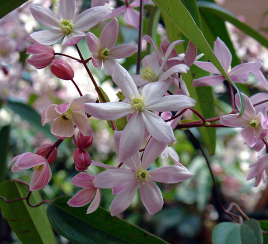 Цветки бледно-розовые