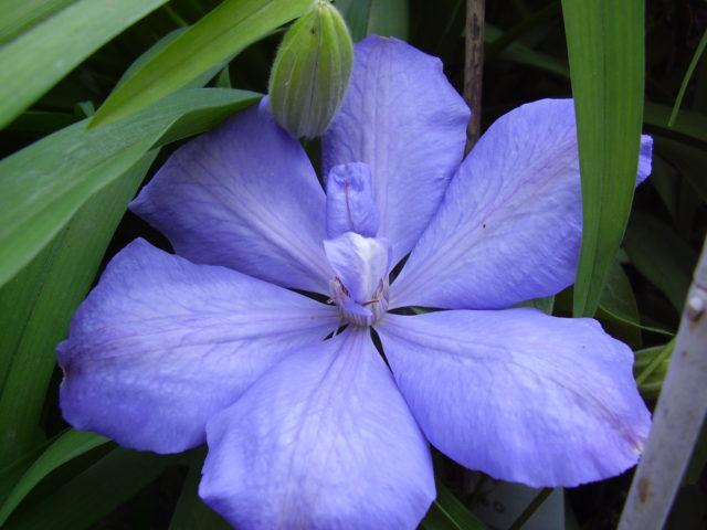 Цветки крупные, из 6-8 нежно-лиловых листочков