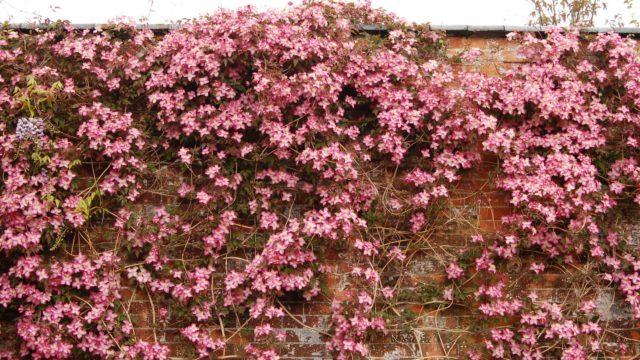 Раскрывает вишневые цветки на фоне листвы