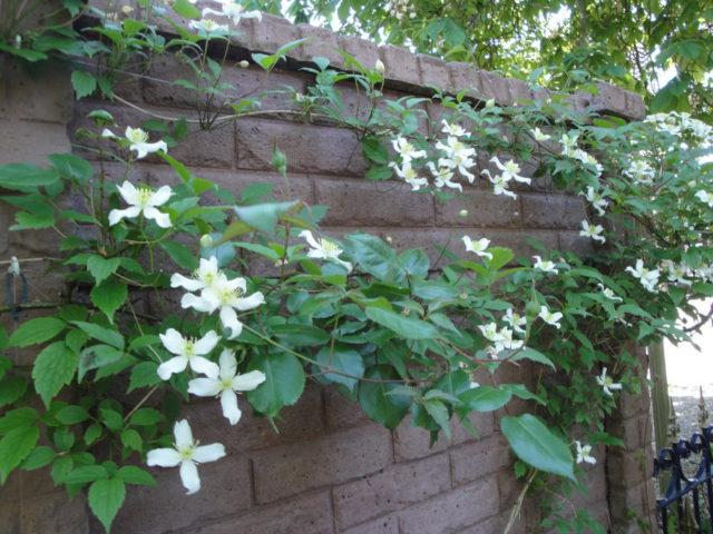 Сорт украшен белыми цветками с обильными желтыми тычинками
