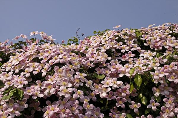 Характерны темно-розовые цветки