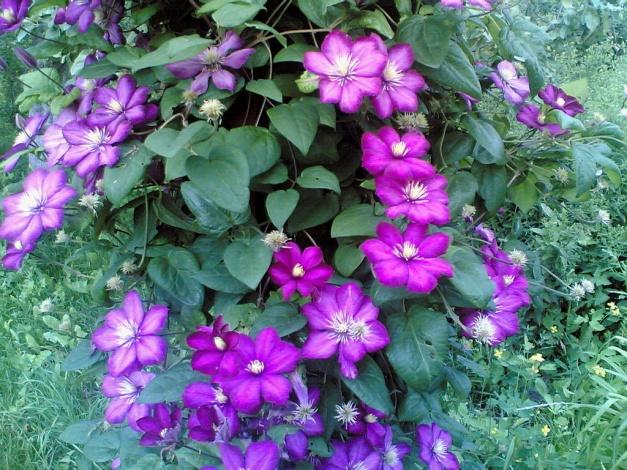 Сорт образует цветки с 6-8 лиловыми листочками околоцветника