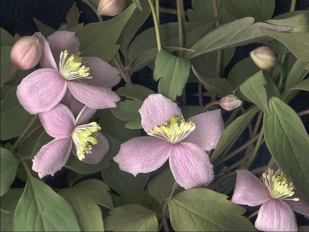 Женский эквивалент с мелкими цветками