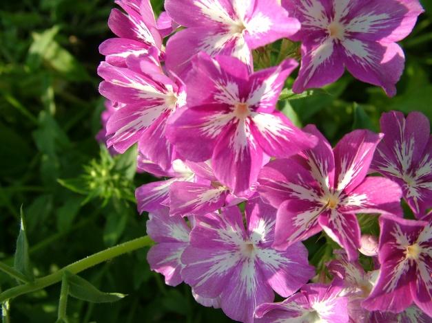 Цветки с темно-пурпурными листочками околоцветника и желтыми тычинками
