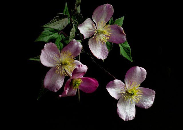 Обильно цветущий сорт с кремовыми тычинками на фоне пастельно розовых листочков