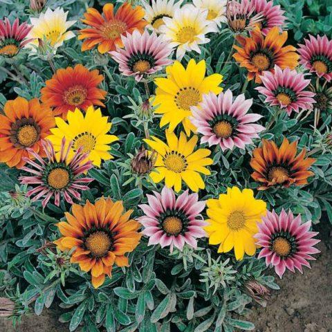 Соцветия у серии сортов очень разнообразно окрашены