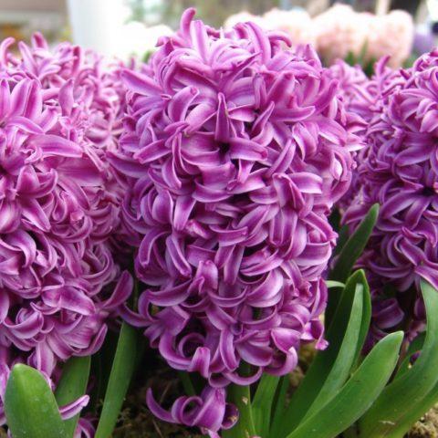Темно-пурпурные цветки