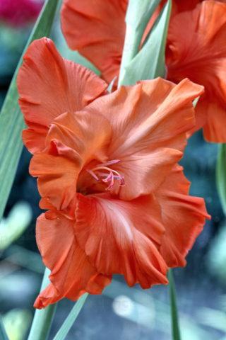 Сорт образует темно-розовые цветки с белым центром