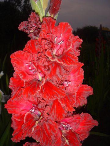 Цветки светлые пурпурно-красные