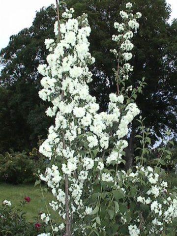 Крошечные белые, округлые цветки