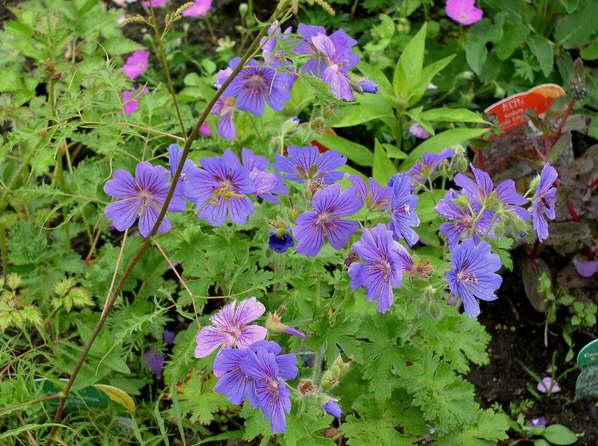Цветки сине-фиолетовые, с очень широко расставленными лепестками