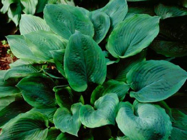 Листовые пластинки пепельные или серо-зеленые