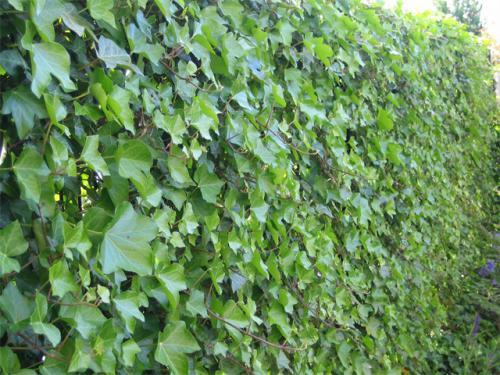 Треугольные серовато-зеленые листья