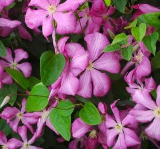 Цветки лавандово-розовые