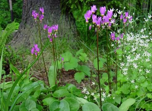 Цветки от карминовых до лавандово-розовых