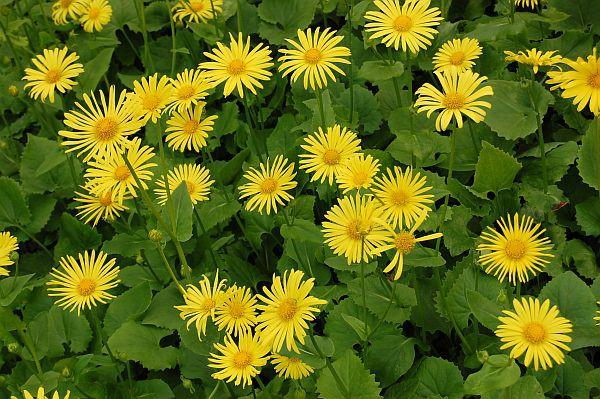 Сорт имеет крупные желтые соцветия на стеблях