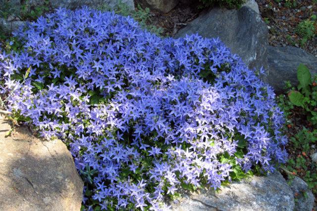 Цветки в кистевидных соцветиях, звездчатые, фиолетово-синие