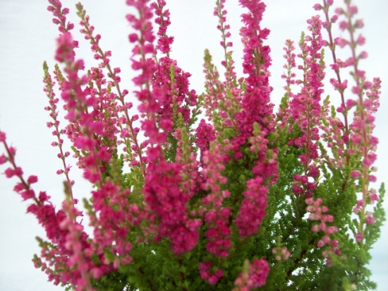 Цветки розово-сиреневые