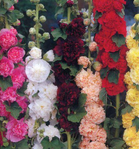 Махровые цветки