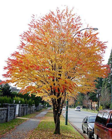 Маленькое дерево с округлой кроной