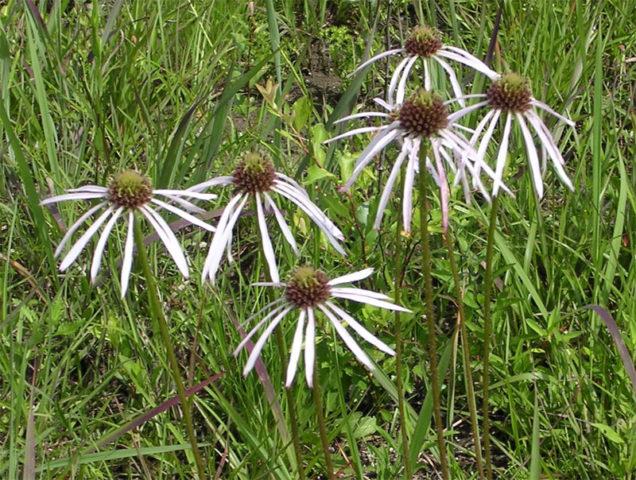 Соцветия состоят из поникающих цветков