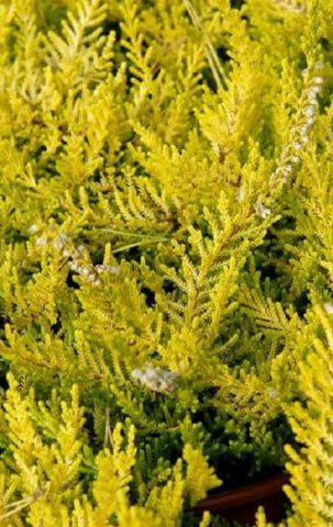 Желтая листва сохраняется в течение всего года