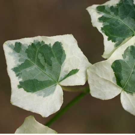 Медленно растущее жесткое прямостоячее растение
