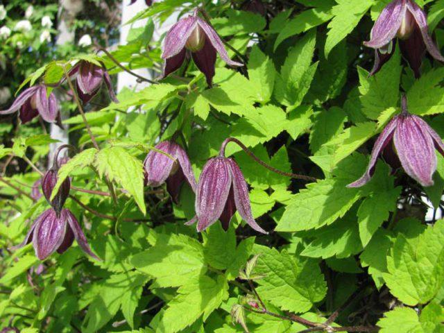 Листочки околоцветника бледно-пурпурно-голубые