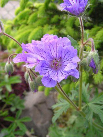 Цветки сине-фиолетовые, с заметными прожилками
