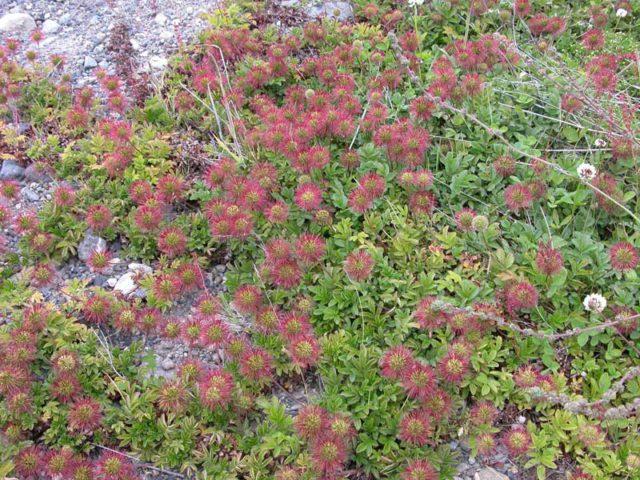 Серо-зеленая листва