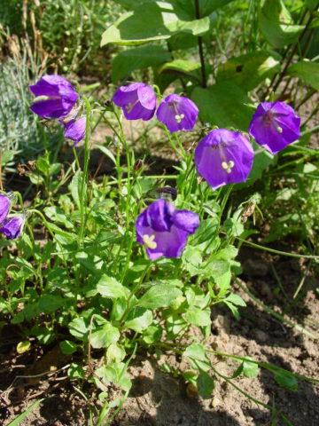 Цветки одиночные, изящные