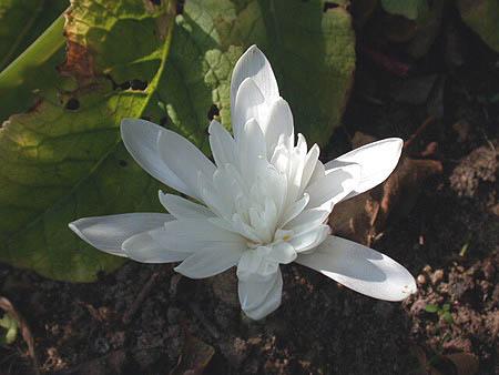 Появление белых цветков