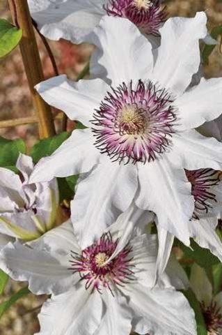 Белые с фиолетовым оттенком цветки