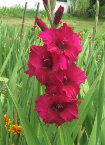 Сорт с фиолетовыми цветками