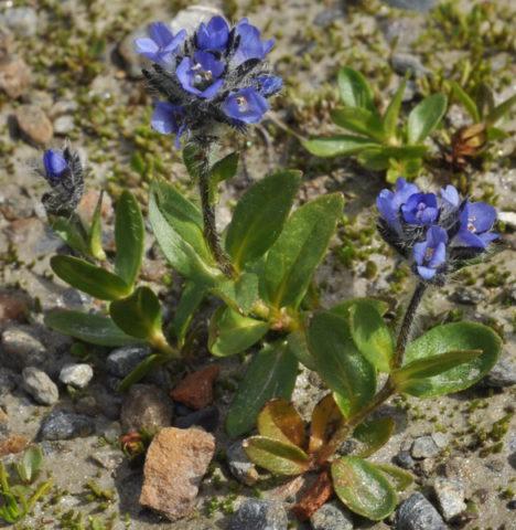 L. alpina