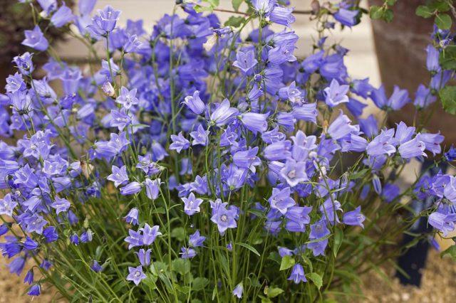 Масса поникающих нежно-синих или фиолетовых цветков