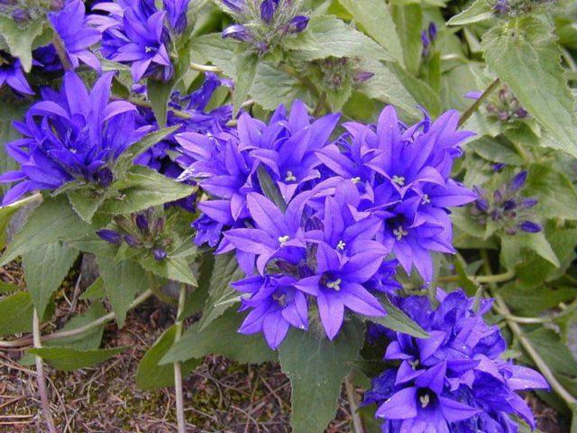 Цветки фиолетовые или голубые