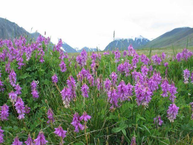 Листопадные кустарники с прямыми колосовидными соцветиями