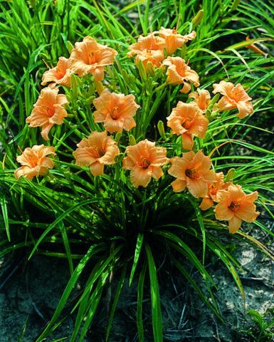 Цвет оранжевой хурмы